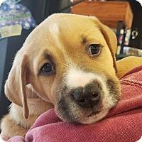 Adopt A Pet :: Merle - Alpharetta, GA