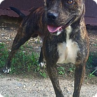Pit Bull Terrier Mix Dog for adoption in Demopolis, Alabama - Capone