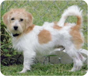 Jack Russell Terrier/Havanese Mix Puppy for adoption in Terra Ceia, Florida - TJ