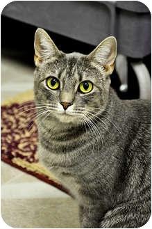 Domestic Shorthair Cat for adoption in Chesapeake, Virginia - Gradie