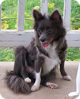 Pomeranian/Chihuahua Mix Dog for adoption in San Angelo, Texas - Megan