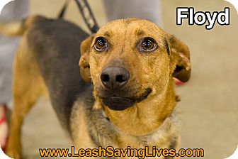 Basset Hound/Beagle Mix Dog for adoption in Pitt Meadows, British Columbia - Floyd