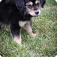 Adopt A Pet :: Brody - Broomfield, CO