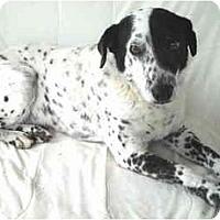 Adopt A Pet :: Gizmo- Dalmation-Senior - Charleston, AR