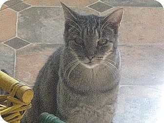 Domestic Shorthair Cat for adoption in Sherman Oaks, California - Tigger