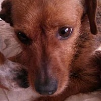 Dachshund Mix Dog for adoption in Georgetown, Kentucky - SPIRIT