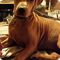 Adopt A Pet :: Drama - Buchanan Dam, TX