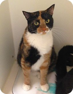 Calico Cat for adoption in Putnam Hall, Florida - Cali