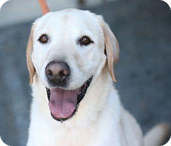 Labrador Retriever Dog for adoption in Canoga Park, California - Derek
