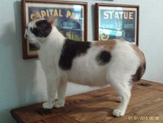 Calico Cat for adoption in Houston, Texas - Coral