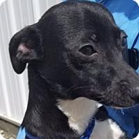 Adopt A Pet :: BOOTS - Lynnwood, WA