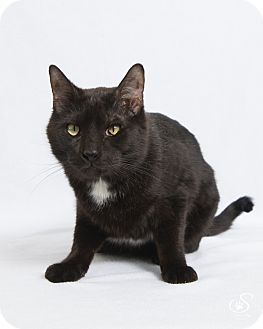 Domestic Shorthair Cat for adoption in Fort Collins, Colorado - Teddy
