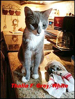 Domestic Shorthair Cat for adoption in Brandon, Florida - Thalia