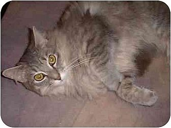 Domestic Mediumhair Cat for adoption in Stuarts Draft, Virginia - Holly