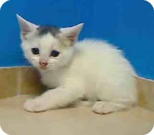 Domestic Shorthair Kitten for adoption in East Brunswick, New Jersey - Petal