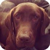 Labrador Retriever Mix Dog for adoption in Lewisville, Indiana - Lola