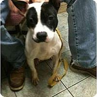 Adopt A Pet :: Cha Cha - Chicago, IL