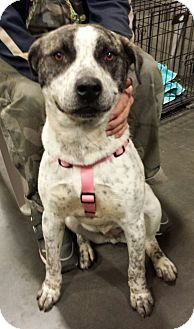 Husky/American Pit Bull Terrier Mix Dog for adoption in Alexis, North Carolina - Bailey