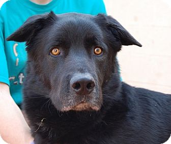 Retriever (Unknown Type)/Shepherd (Unknown Type) Mix Dog for adoption in Las Vegas, Nevada - Mr. Richard
