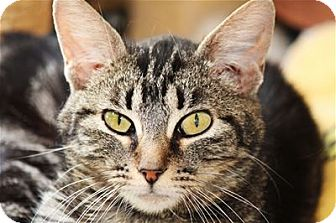 Domestic Shorthair Cat for adoption in Lincoln, California - Hostess