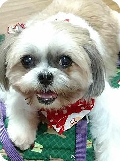Shih Tzu Mix Dog for adoption in San Diego, California - Moxie