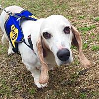 Adopt A Pet :: Betty Boop - Houston, TX