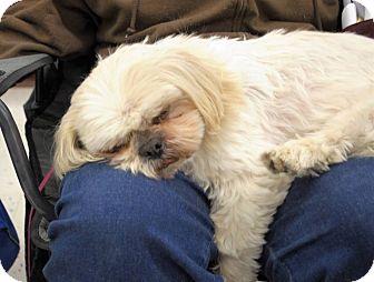 Shih Tzu Dog for adoption in Lansing, Michigan - Lil' Guy