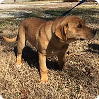 Adopt A Pet :: Irene - Harrisonburg, VA