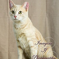 Domestic Shorthair Cat for adoption in Crescent, Oklahoma - Milo