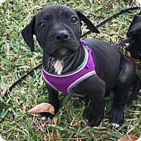 Adopt A Pet :: Nutella - Fort Lauderdale, FL