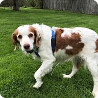 Adopt A Pet :: NY/Remi - Pittsburgh, PA