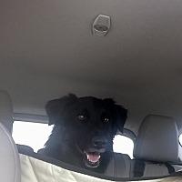 Adopt A Pet :: SADIE - Greeneville, TN