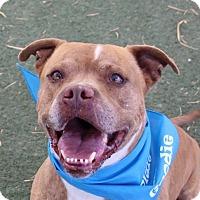 Adopt A Pet :: *ARIZONA - Las Vegas, NV