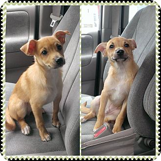 Chihuahua/Italian Greyhound Mix Puppy for adoption in bridgeport, Connecticut - Butters