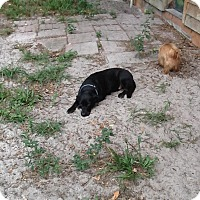 Adopt A Pet :: Nancy - Williston, FL