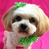 Lhasa Apso Dog for adoption in Irvine, California - Lola Bubbles