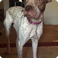 German Shorthaired Pointer/Shar Pei Mix Dog for adoption in Phoenix, Arizona - Dreamer