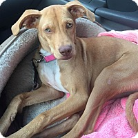 Adopt A Pet :: Red Roan Remi - Vidor, TX