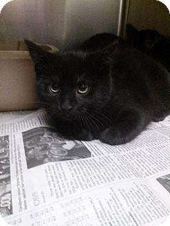 Domestic Shorthair Kitten for adoption in Northfield, Ohio - Jo