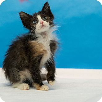 Domestic Longhair Kitten for adoption in Houston, Texas - Pearl