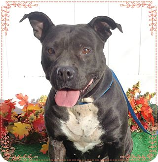 Pit Bull Terrier/American Pit Bull Terrier Mix Dog for adoption in Marietta, Georgia - MAMA(R)