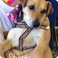Adopt A Pet :: Shasta - Los Angeles, CA