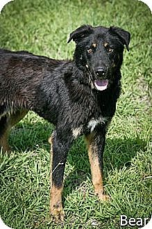 Shepherd (Unknown Type) Dog for adoption in Jackson, Mississippi - Bear
