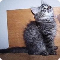 Adopt A Pet :: K-Whiskers2-Mario - Colorado Springs, CO