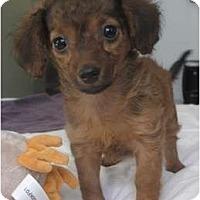 Adopt A Pet :: CeeCee - New York, NY