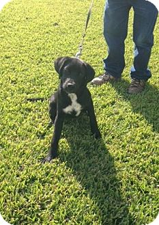Dalmatian/Labrador Retriever Mix Dog for adoption in Baton Rouge, Louisiana - Lucky