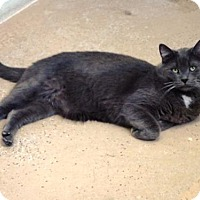 Domestic Mediumhair Cat for adoption in Belleville, Michigan - Dusty