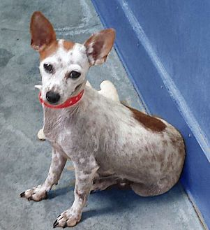 Rat Terrier/Toy Fox Terrier Mix Dog for adoption in San Francisco, California - Sweetie