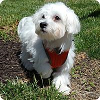 Adopt A Pet :: Clay-Adoption pending - Bridgeton, MO