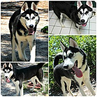 Adopt A Pet :: Kona - Forked River, NJ